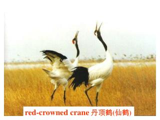 red-crowned crane 丹顶鹤 ( 仙鹤 )