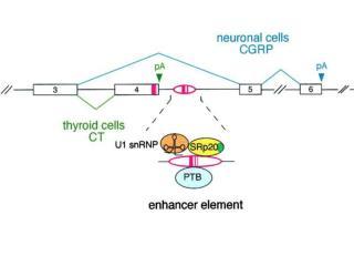Scelta del sito di poliadenilazione Sequenze cis-agenti che definiscono il sito di taglio