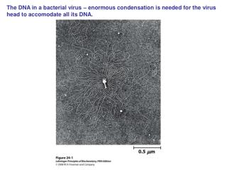 The DNA in a bacterial virus – enormous condensation is needed for the virus