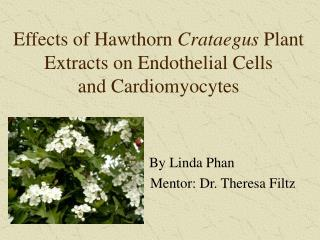 Effects of Hawthorn  Crataegus  Plant Extracts on Endothelial Cells  and Cardiomyocytes
