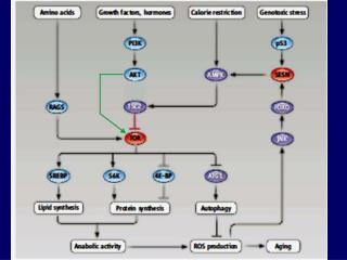 TOR – target of rapamycin Insulin a insulin-like růstové faktory jsou hlavními aktivátory,