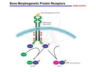 Bone Morphogenetic Protein Receptors