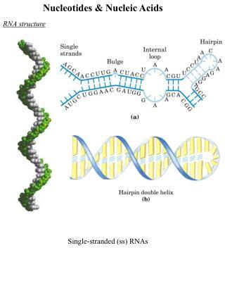Nucleotides & Nucleic Acids