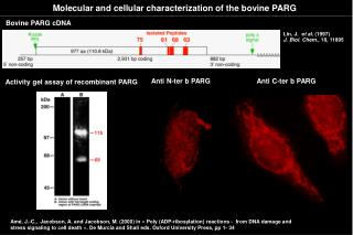 Molecular and cellular characterization of the bovine PARG