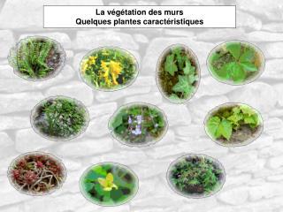 La végétation des murs Quelques plantes caractéristiques