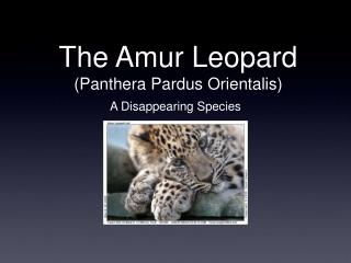 The Amur Leopard (Panthera Pardus Orientalis)