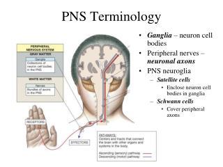 PNS Terminology