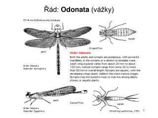Řád:  Odonata  (vážky)