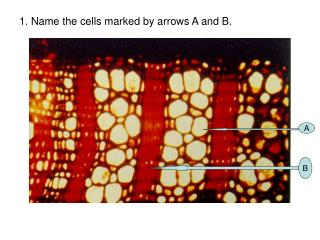 1. Name the cells marked by arrows A and B.