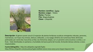 Nombre  científico:  Typha Nombre vulgar :  Totora Reino:  Plantae Filo:  Magnoliophyta