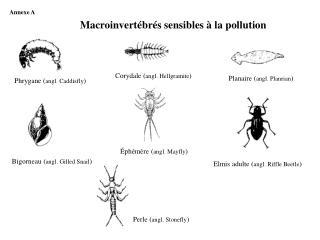 Elmis adulte ( angl. Riffle Beetle )