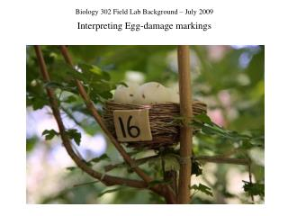 Biology 302 Field Lab Background – July 2009 Interpreting Egg-damage markings