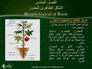 الفصل الخامس الشكل الظاهرى للجذور  Morphological of Roots