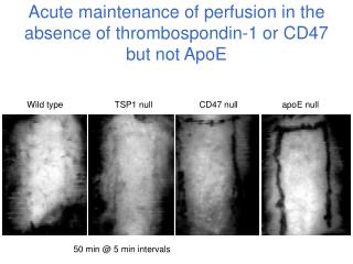 Acute maintenance of perfusion in the absence of thrombospondin-1 or CD47 but not ApoE