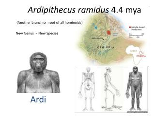 Ardipithecus ramidus  4.4 mya