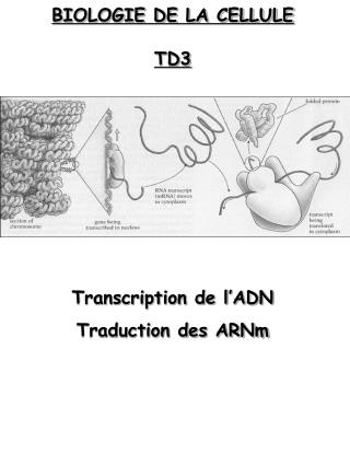 BIOLOGIE DE LA CELLULE TD3 Transcription de l'ADN Traduction des ARNm