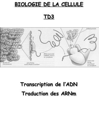 BIOLOGIE DE LA CELLULE TD3 Transcription de l'ADN Traduction des ARNm