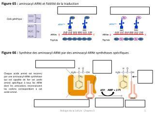 Figure 65 :  aminoacyl-ARNt et fidélité de la traduction