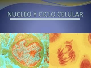 NUCLEO Y CICLO CELULAR