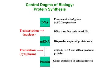 Central Dogma of Biology: Protein Synthesis