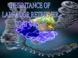 INHERITANCE OF  LABRADOR RETRIEVER  COAT COLOR