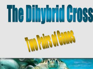 The Dihybrid Cross