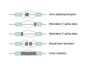 Exon skipping/inclusion