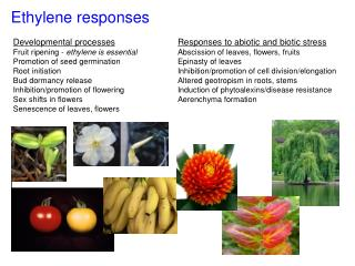 Ethylene responses