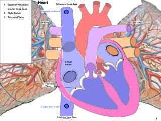 Lt Lung