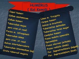 HUMERUS ( Kol Kemiği )