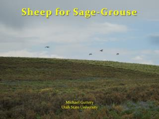 Sheep  for  Sage-Grouse