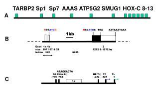 TARBP2 Sp1 Sp 7  AAAS ATP5G2 SMUG1  HOX-C 8-13