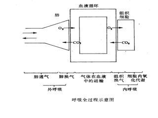 第五章 呼 吸   (Respiration) 概述 (Introduction) 第一节 肺通气 (Pulmonary Ventilation) 第二节 呼吸气体的交换