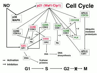 Ubiquitin mediated proteolysis
