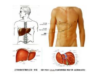 肝脏的基本功能