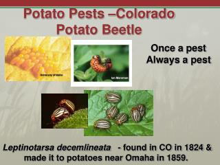 Potato Pests –Colorado Potato Beetle