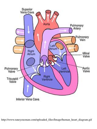 raneyzusman/uploaded_files/Image/human_heart_diagram.gif