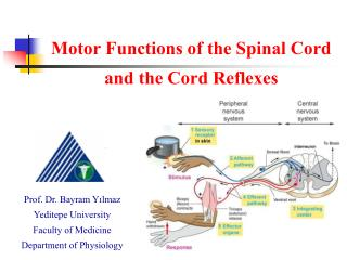 Motor Functions of the Spinal Cord  and the Cord Reflexes