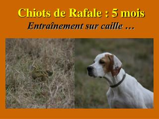 Chiots de Rafale : 5 mois Entraînement sur caille …