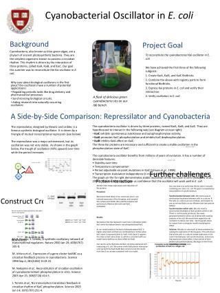 Cyanobacterial Oscillator in  E. coli