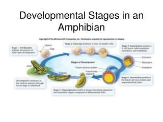 Developmental Stages in an Amphibian