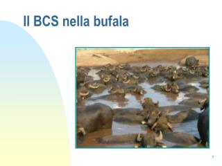Il BCS nella bufala