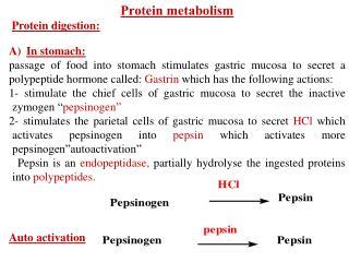 Protein metabolism Protein digestion: In stomach: