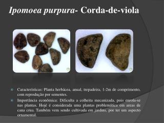 Ipomoea purpura-  Corda-de-viola