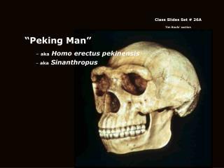 """""""Peking Man"""" aka  Homo erectus pekinensis  aka  Sinanthropus"""
