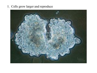 1.  Cells grow larger and reproduce
