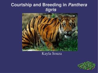 Courtship and Breeding in  Panthera tigris