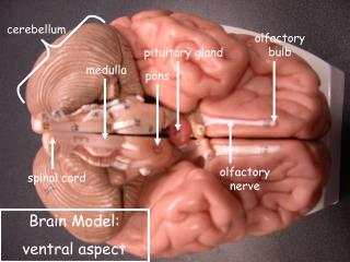 BRAIN MODEL LABELED