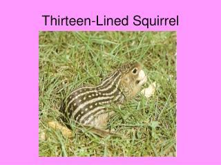 Thirteen-Lined Squirrel