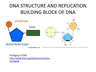 DNA STRUCTURE AND REPLICATION BUILDING BLOCK OF DNA